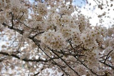 2010年の桜.jpg